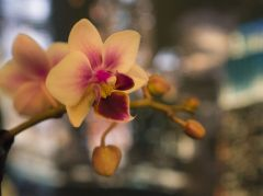 Phalaenopsis 'Brother Pico Sweetheart' 8740